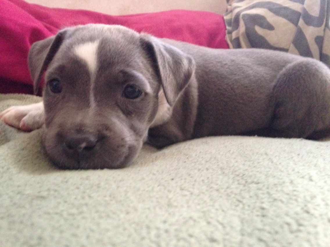 My 5 Week Old Blue Nose Pitbull Named Pepper So Stinking Cute