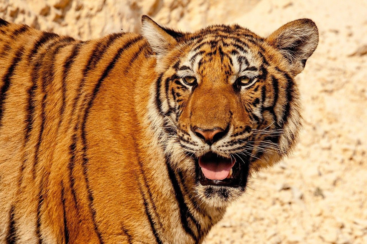 Pin by Adam Pacyniak on Cool animals | Animal wallpaper, Cat behavior,  Tiger species