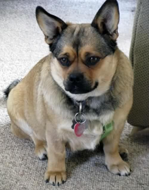 Porgi Corgi Pug Mix Corgi Cross Breeds Pug Mixed Breeds Corgi Pug