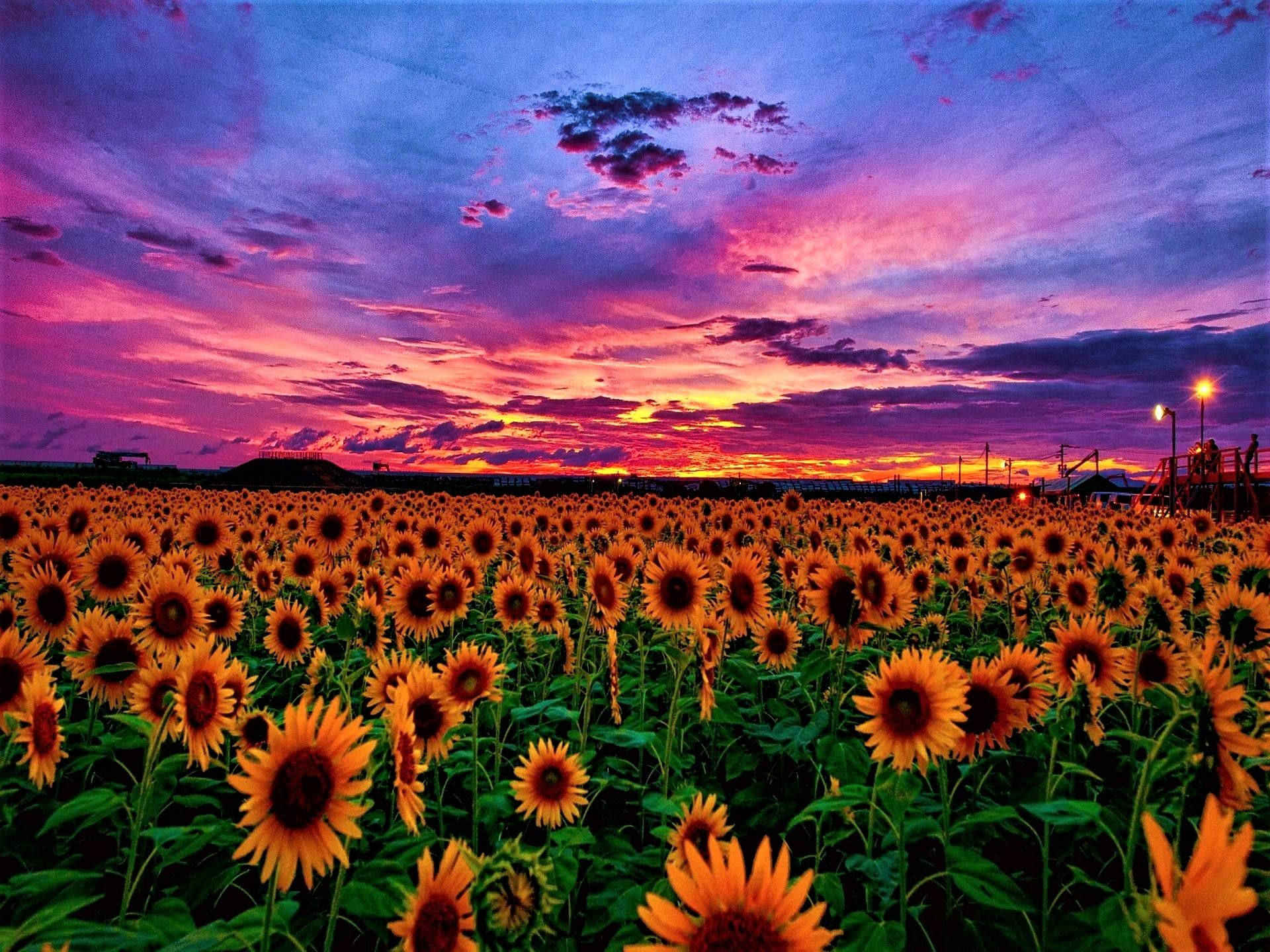 Sunflower Fields At Sunset With Red And Purple Skies Photograph Jeanpaul Ferro Sunflower Wallpaper Sunflower Pictures Sunset Wallpaper