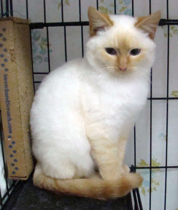 Flame Point Nacho At Siamese Cat Rescue Pretty Cats Cats Cute Cats