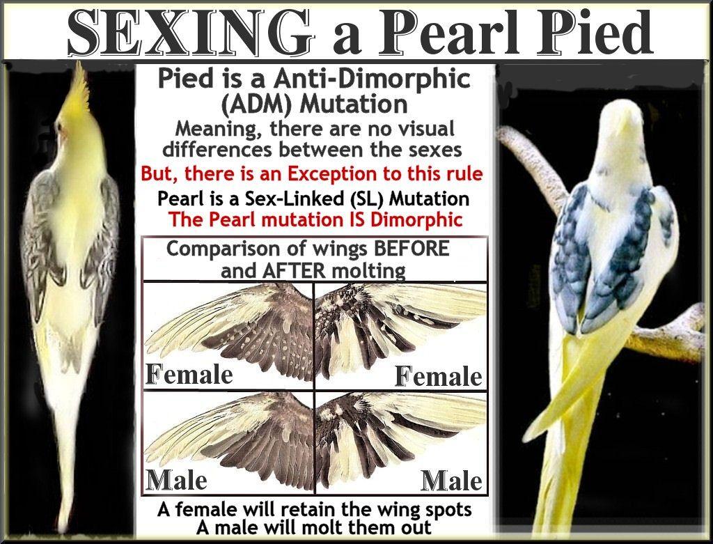 How to sex a cockatiel photos 13