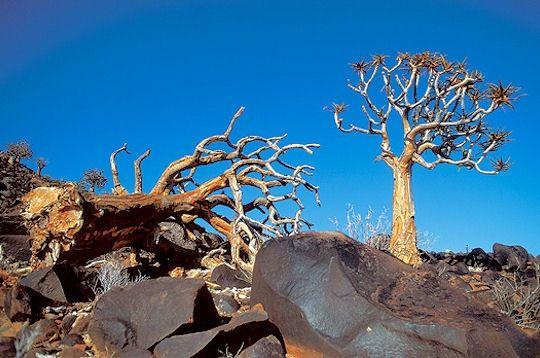 Quelques végétaux très résistants parviennent à survivre dans le désert. C'est le cas des acacias, mais aussi des aloès. Dans son étude, Théodore Monod souligne l'ingéniosité des procédés inventées par les plantes pour survivre parfois pendant des siècles. Ici, un Aloe Dichotoma dans le désert du Namib