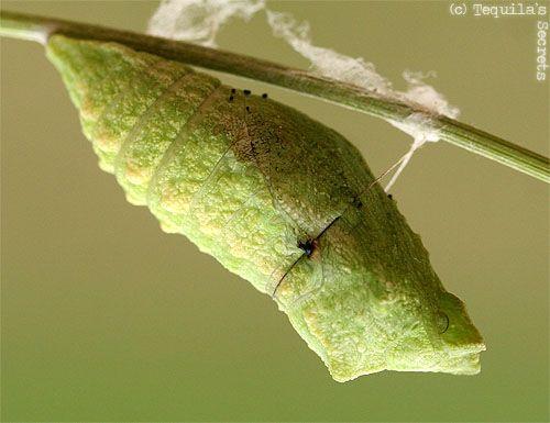chrysalide papilio macao insectes papillon de nuit. Black Bedroom Furniture Sets. Home Design Ideas
