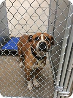 Roswell, NM Boxer Mix. Meet Buster, a dog for adoption