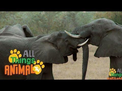 Elephants Animal Videos For Children Kids Toddler Preschool Kindergarten Learning Youtube Zoo Activities Zoo Animals Video Elephant Videos For Kids