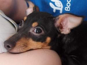 Adopt Chacha On Doberman Pinscher Rat Terrier Dogs Miniature