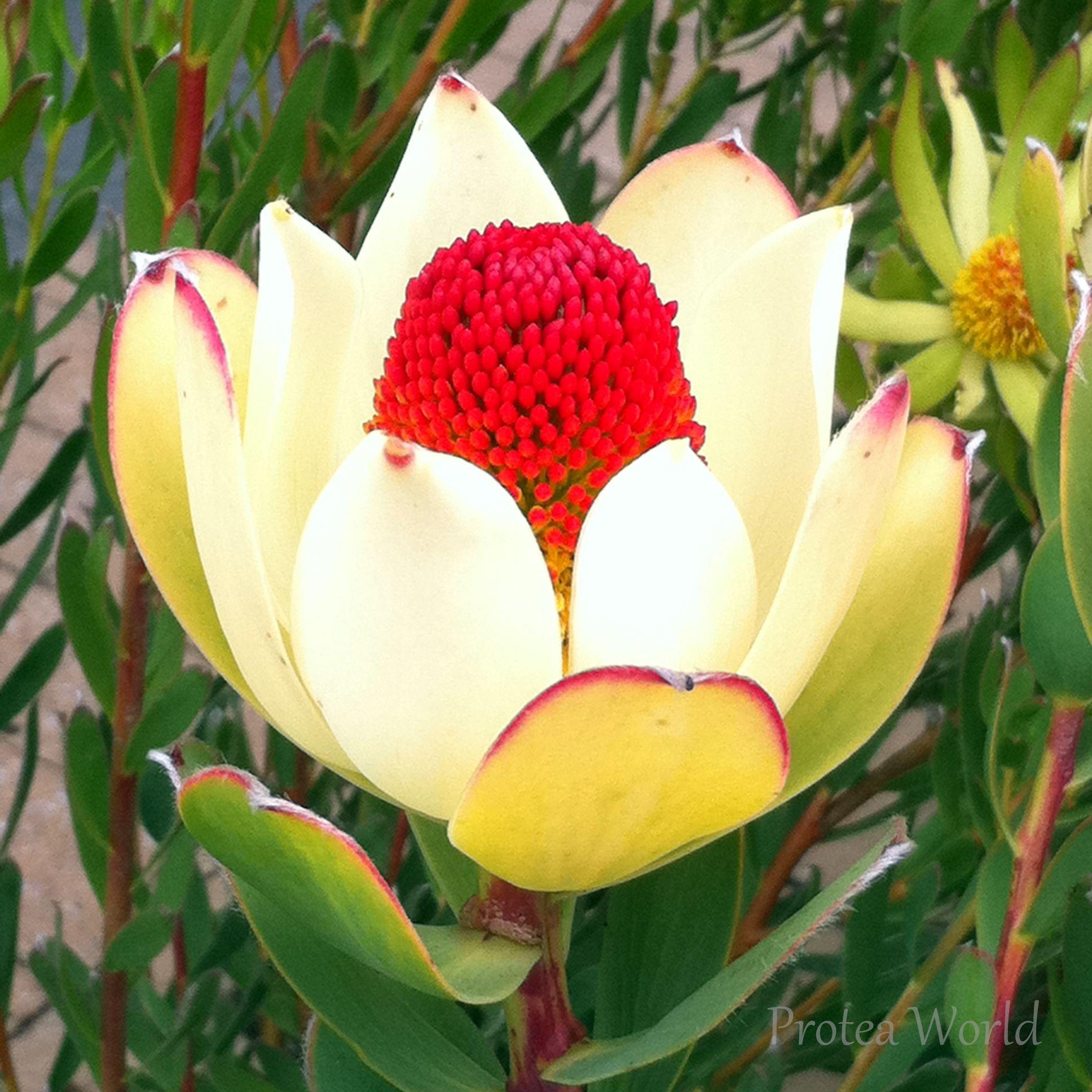 Discolor Male Australian Native Flowers Protea Plant Flowers