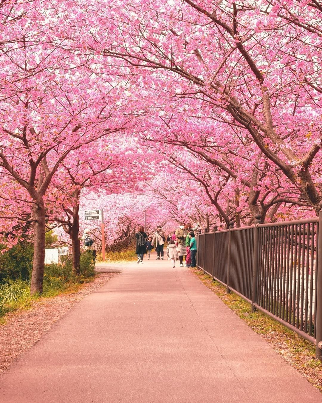 Picture By Japantravelplanet This Picture Of A Sakura Tunnel Was Taken Last Sunday At The Kawazu Cherr Japan Travel Japan Vacation Cherry Blossom Festival