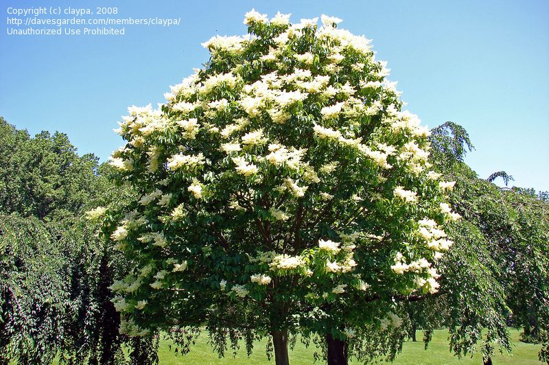Plantfiles Pictures Japanese Tree Lilac Ivory Silk Syringa Reticulata By Claypa Lilac Tree Japanese Lilac Tree Japanese Tree