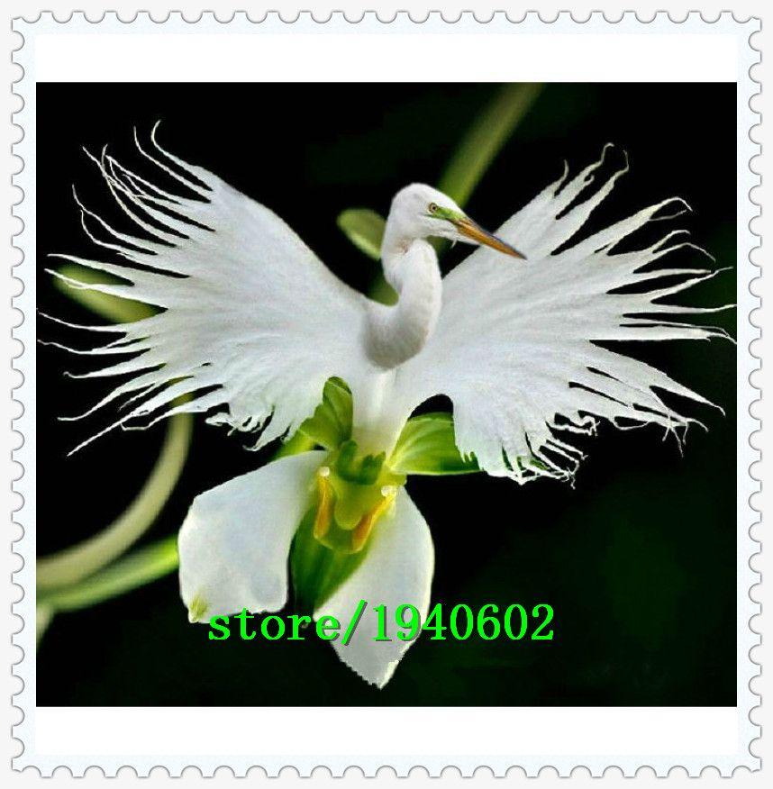 japonais radiata graines h ron blanc orchid e graines monde de rares esp ces d 39 orchid es blanc. Black Bedroom Furniture Sets. Home Design Ideas