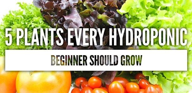 5 Plants Every Hydroponic Beginner Should Grow - NoSoilSolutions