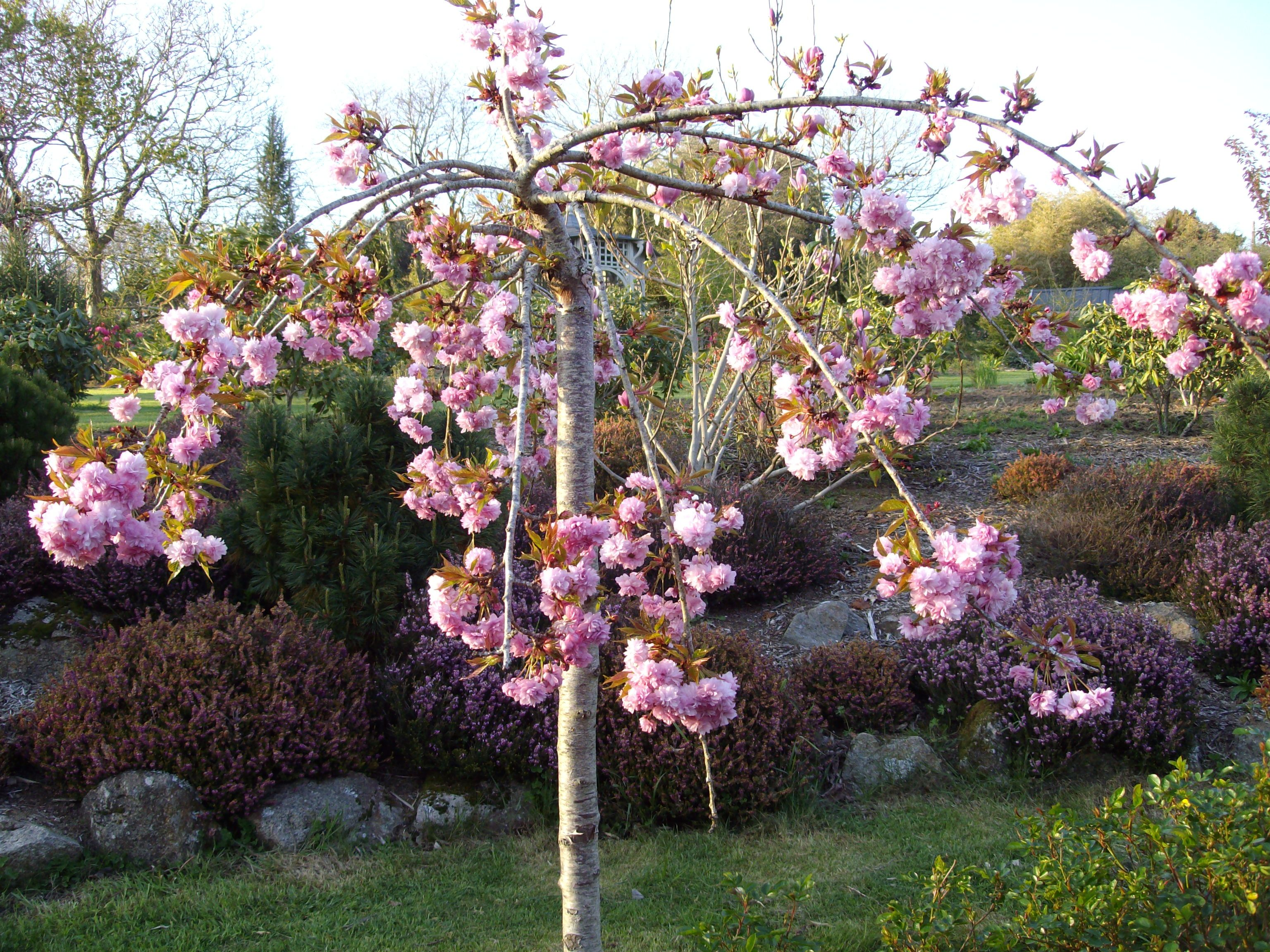 prunus serrulata kiku shidare sakura arbres et arbustes de mon jardin pinterest. Black Bedroom Furniture Sets. Home Design Ideas