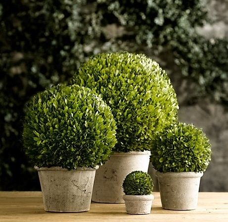 Boxwood Balls, restoration hardware. I like that little mini boxwood there :). Might try to duplicate.