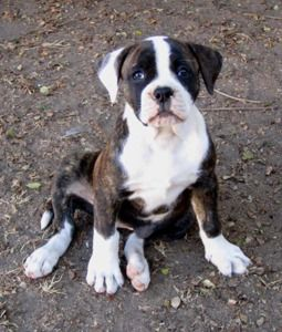 Alicia Yoder Nkc American Bulldog Puppy Looking For Loving Home For The Holidays Dark Brindl American Bulldog Puppies Brindle Boxer Puppies American Bulldog
