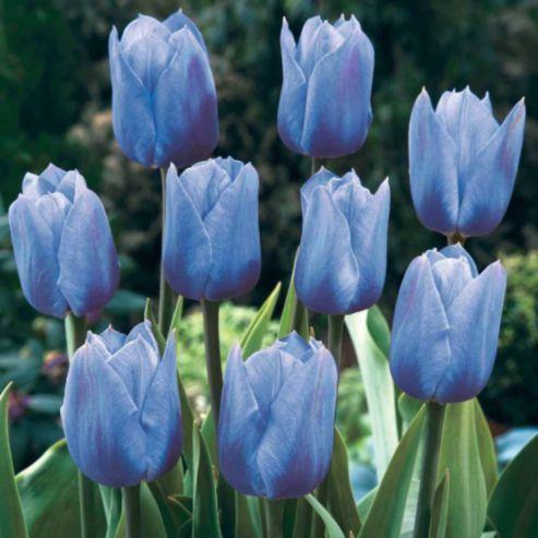 Tesco Direct Tulip True Blue 10 Bulbs Blue Tulips Tulips Purple Flowers