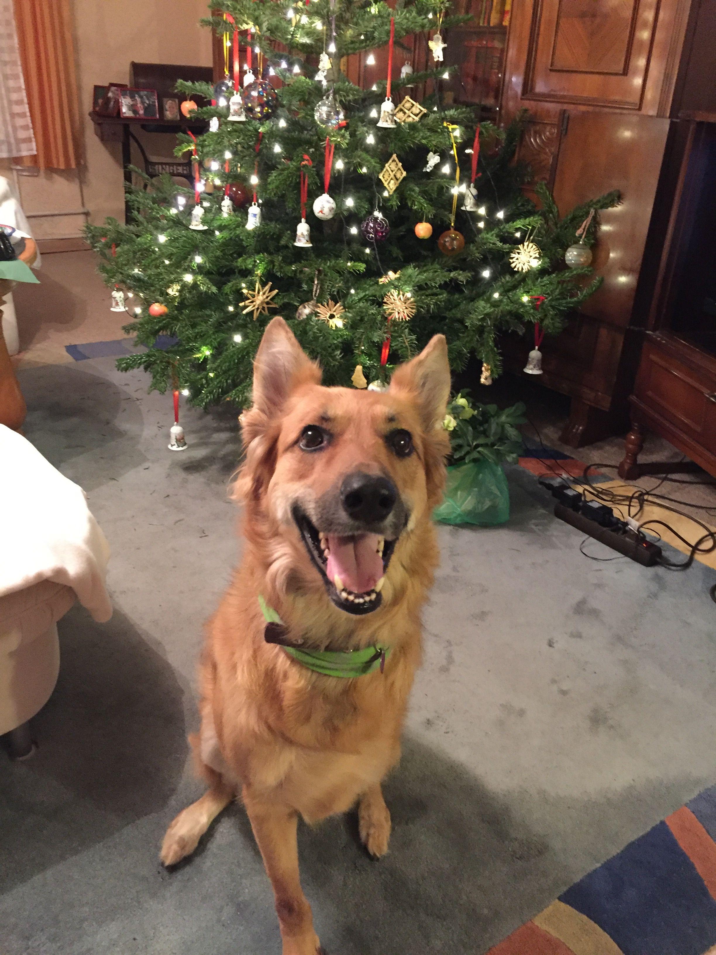 Zara belgischer Schäferhund Mischling Pawshake