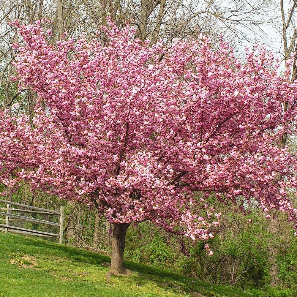 Cherry Kwanzan Ornamental Tree Root Stock Van Zyverden Flowering Cherry Tree Ornamental Cherry Tree Garden Design