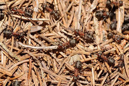 mes 5 astuces pour repousser naturellement les fourmis de la maison astuces pour loigner les. Black Bedroom Furniture Sets. Home Design Ideas