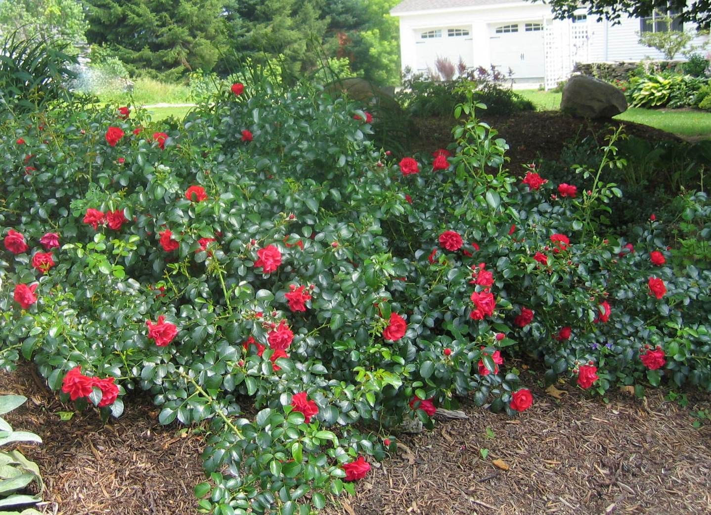 Flower Carpet Roses Are Perfect For Slopes And Other Landscape Applications Ground Cover Plants Easy Care Plants Plants