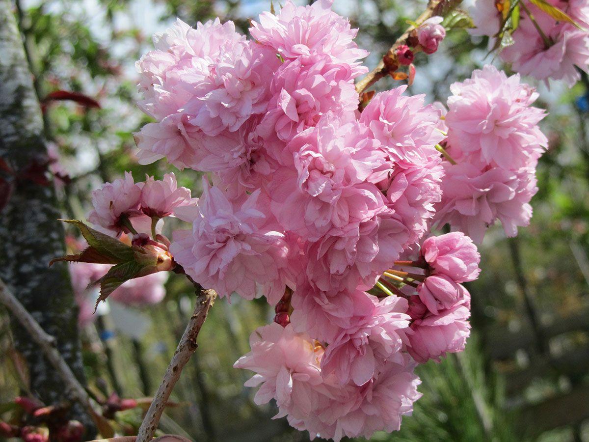 Cheals Weeping Cherry Prunus Kiku Shidare Sakura Flores