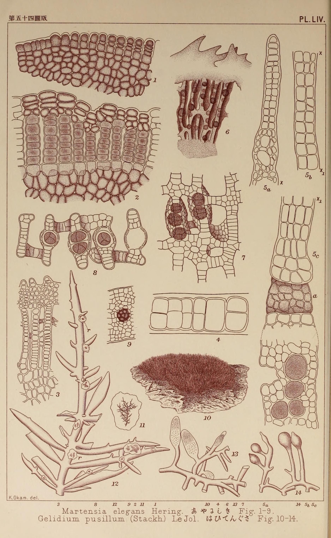 """scientific illustration from """"Icones of Japanese Algae"""""""