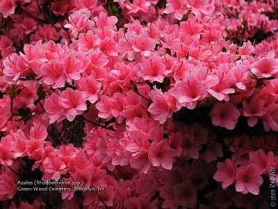I'm in love with azaleas. Wish I could make them grow in my yard.