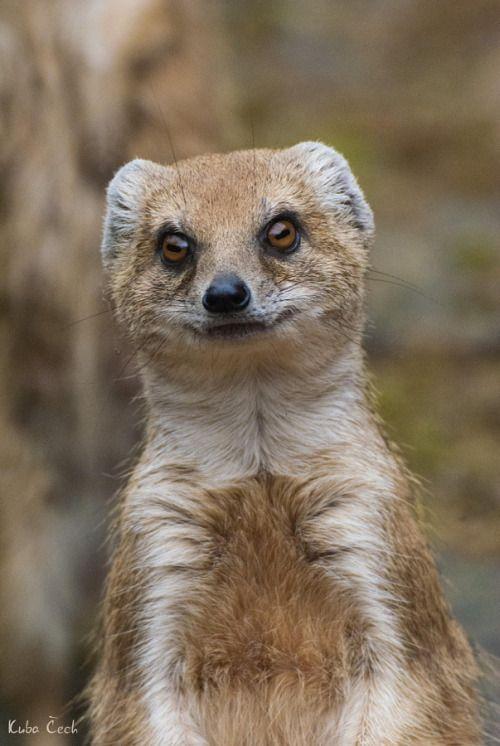 Mongoose by Jakub Čech