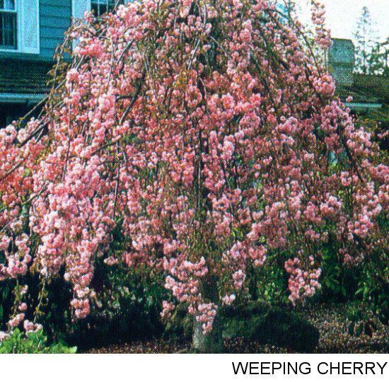 dwarf ornamental trees
