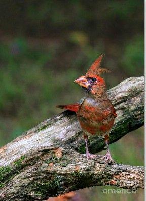 Baby Cardinal My Favorite Bird With Images Baby Cardinals