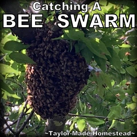 We recently got the opportunity to catch a bee swarm high up in a tree. But we were able to stay on the ground! #TaylorMadeHomestead