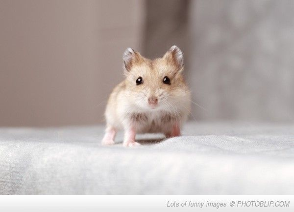 Teeny Tiny 1 Month Old Dwarf Hamster Cute Hamsters Dwarf
