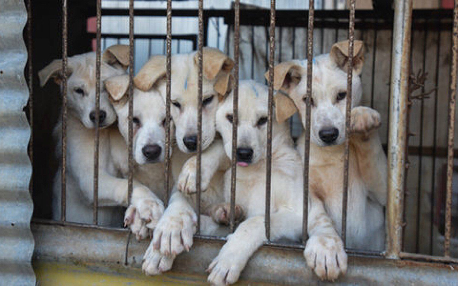 Join The Fight To Save Millions Of Dogs Killed Every Year To Fuel The Dog Meat Trade Dogs Animal Companions Animals