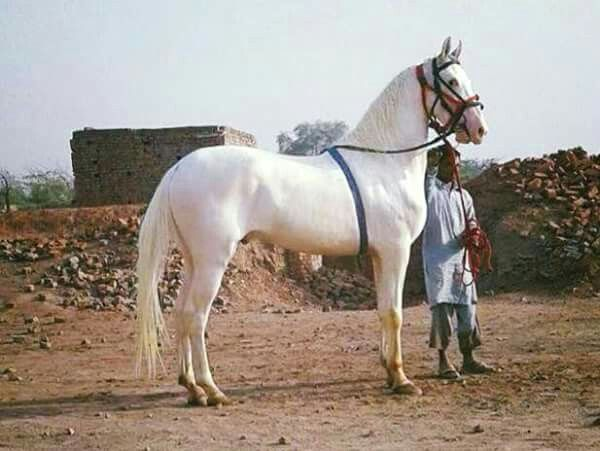 Desi Horse Of Pak Rare Horse Breeds Rare Horses Marwari Horses