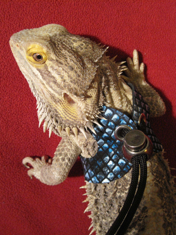 DIY Dragon Wings Harness - petdiys.com | Bearded Dragon's ...