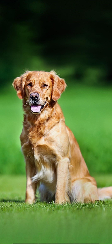 Hi, I'm Ollie. I am a loving Male Labrador Retriever. I am