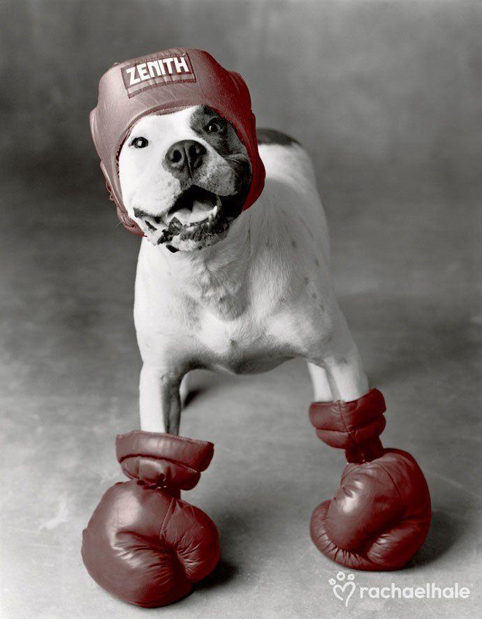 Прикольные боксерские картинки