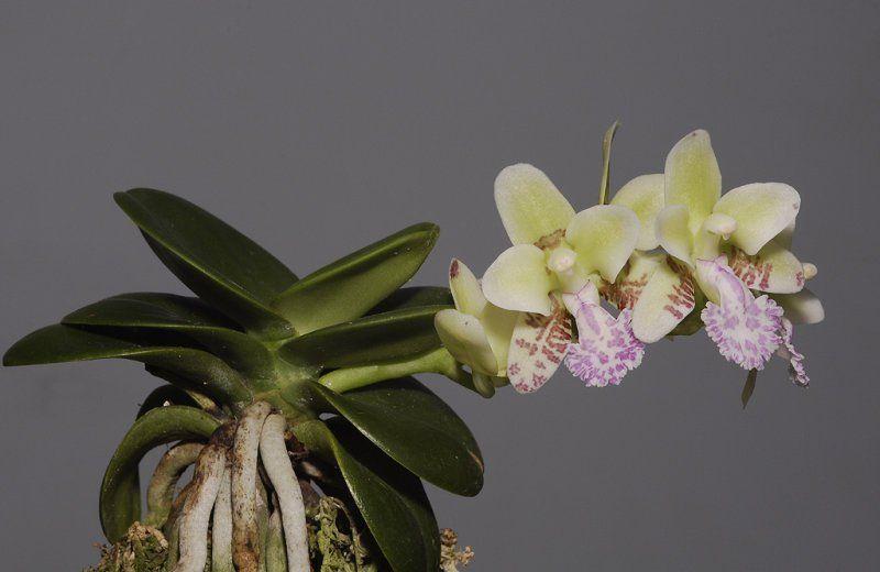 Sedirea japonica 3