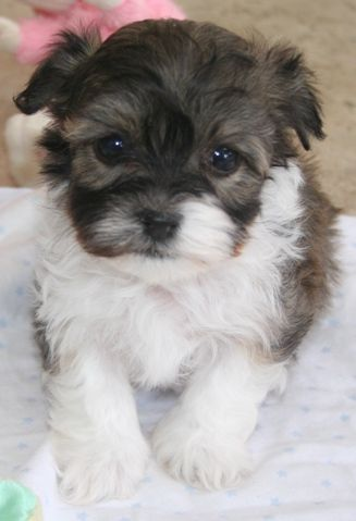 Havanese Puppies For Sale Havanese Puppy For Sale Havanese Cute Dogs Havanese Puppies Puppies