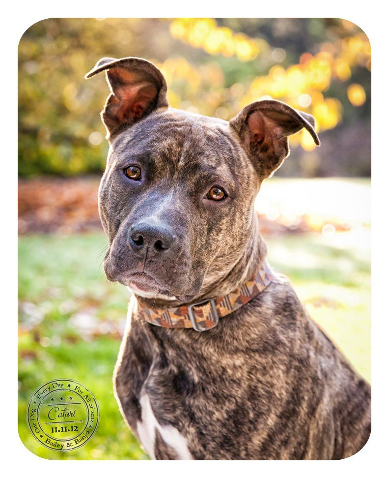 Gorgeous Brindle Pittie, Catori is todays dog for Canine ...