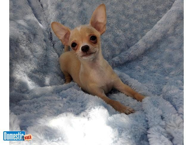 Fort Myers Beach Florida United States Apple Head Chihuahua