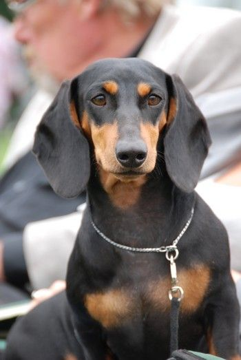 Beautiful Smooth Black Tan Doxie Smooth Hair Are Usually
