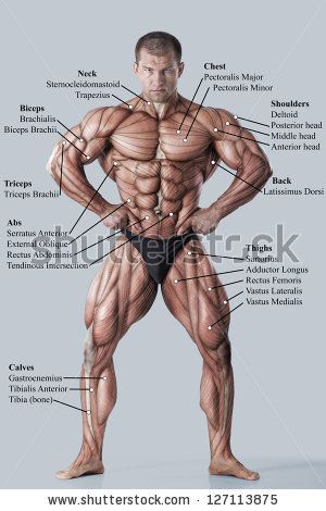 Stock Photo Anatomy Of Male Muscular System Anterior View Full Body