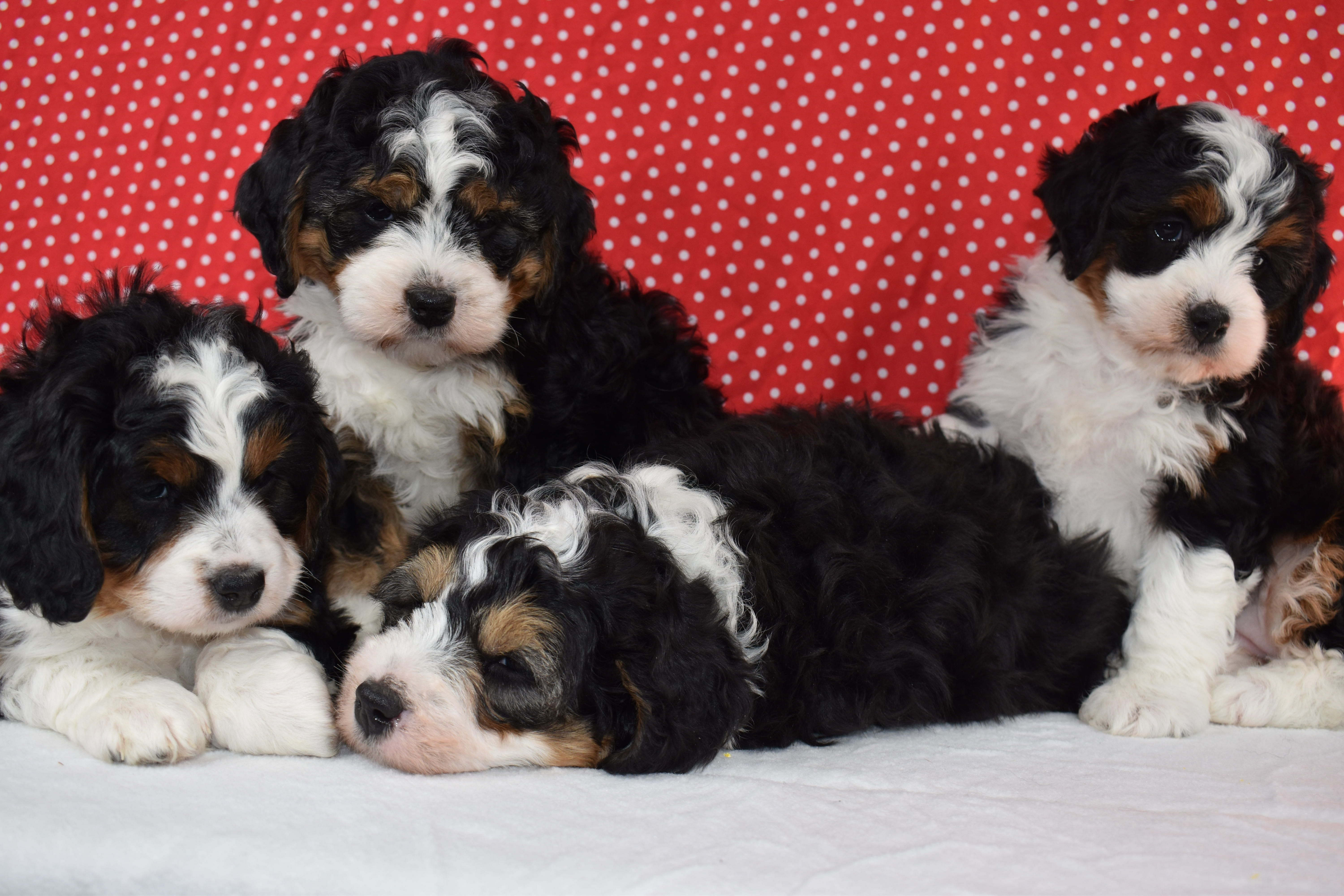 Emma Buffy Buddy Leo Bernedoodle Puppy Cute Baby Cats Puppies