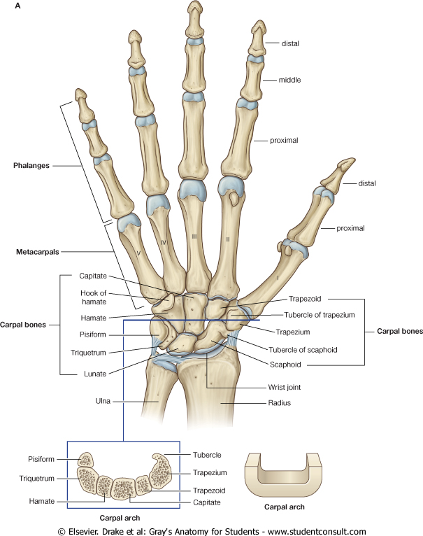Labelled Posterior View Of A Human Wrist Hand Google Search
