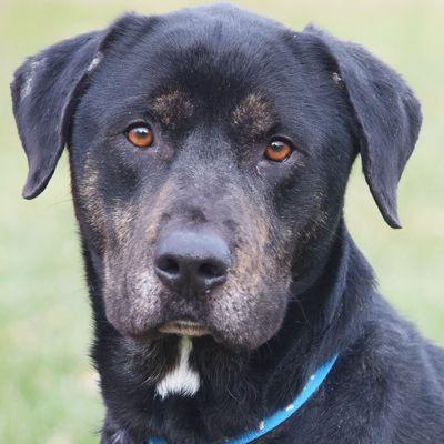 Labrottie Dog For Adoption In Huntley Il Adn 735899 On