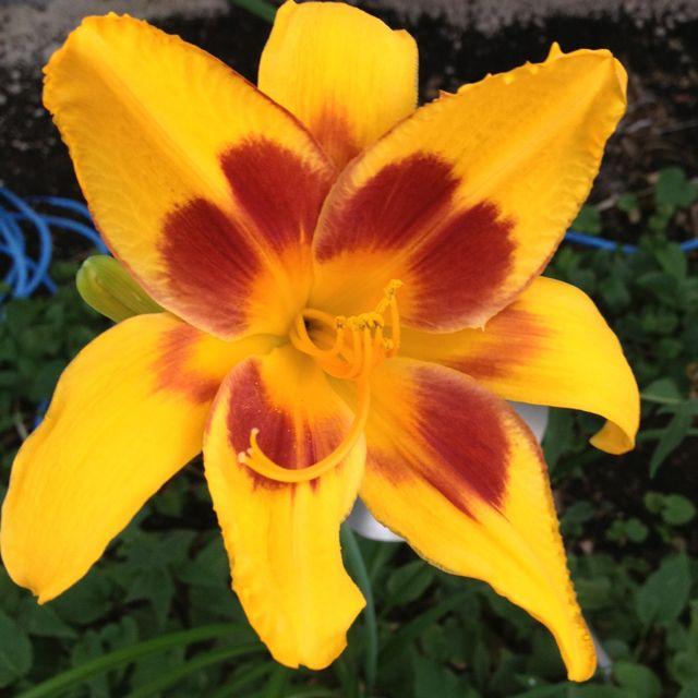 Lily in my garden (Winnipeg, MB)