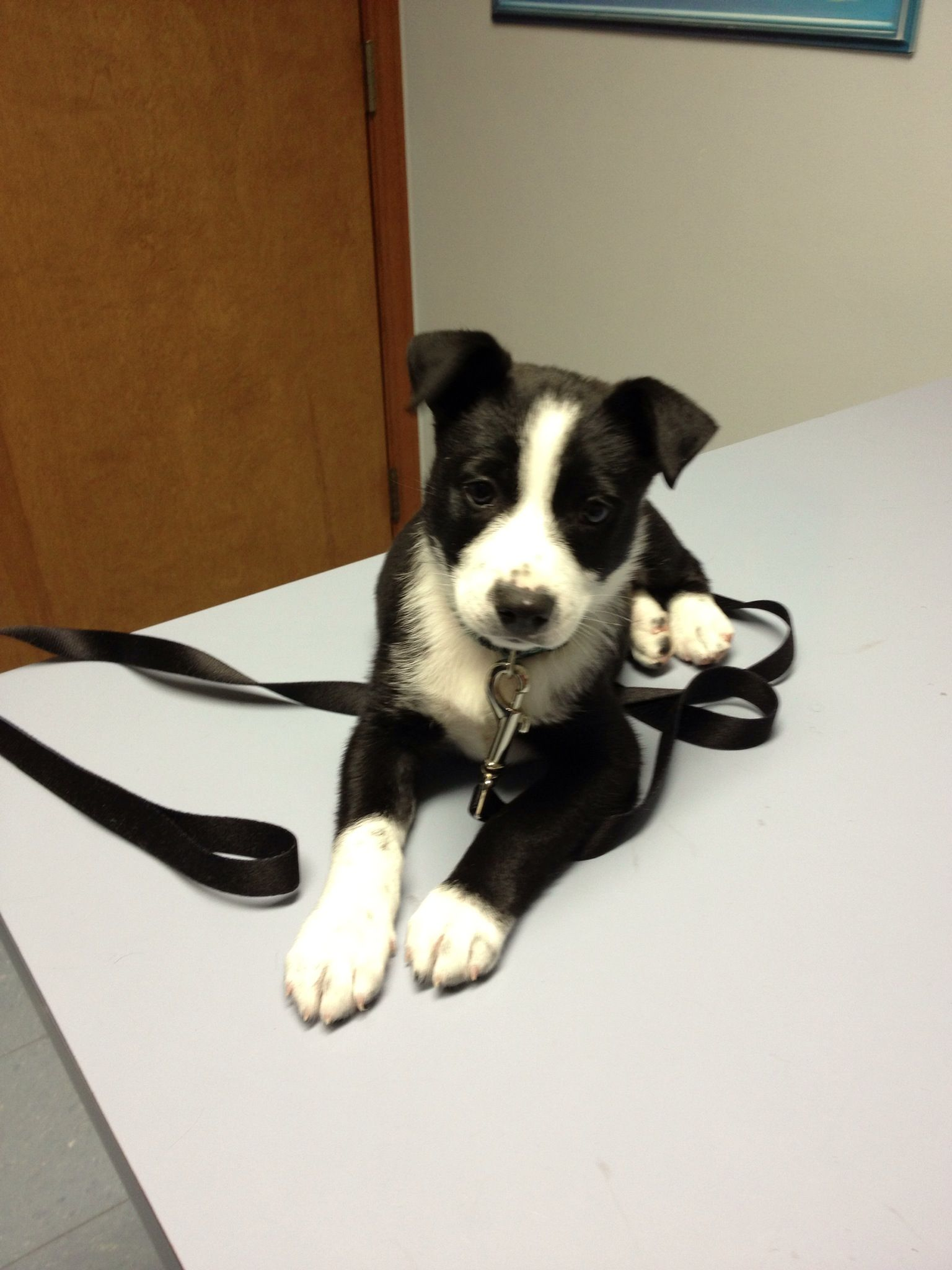 Australian Shepherd And Jack Russell Terrier Mix Bailey Is His