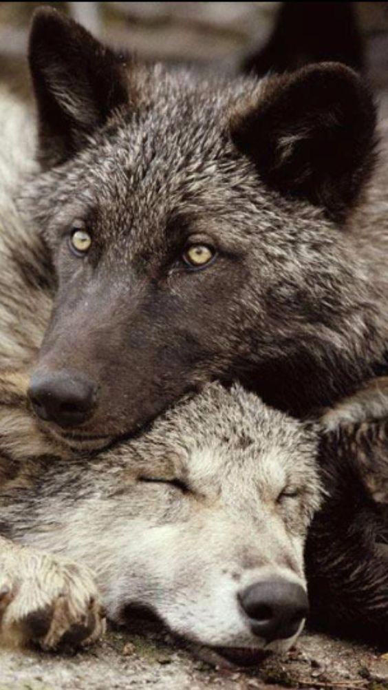 Pin By Marcus On Lobos Wolf Spirit Animal Wolf Dog Wolf Love
