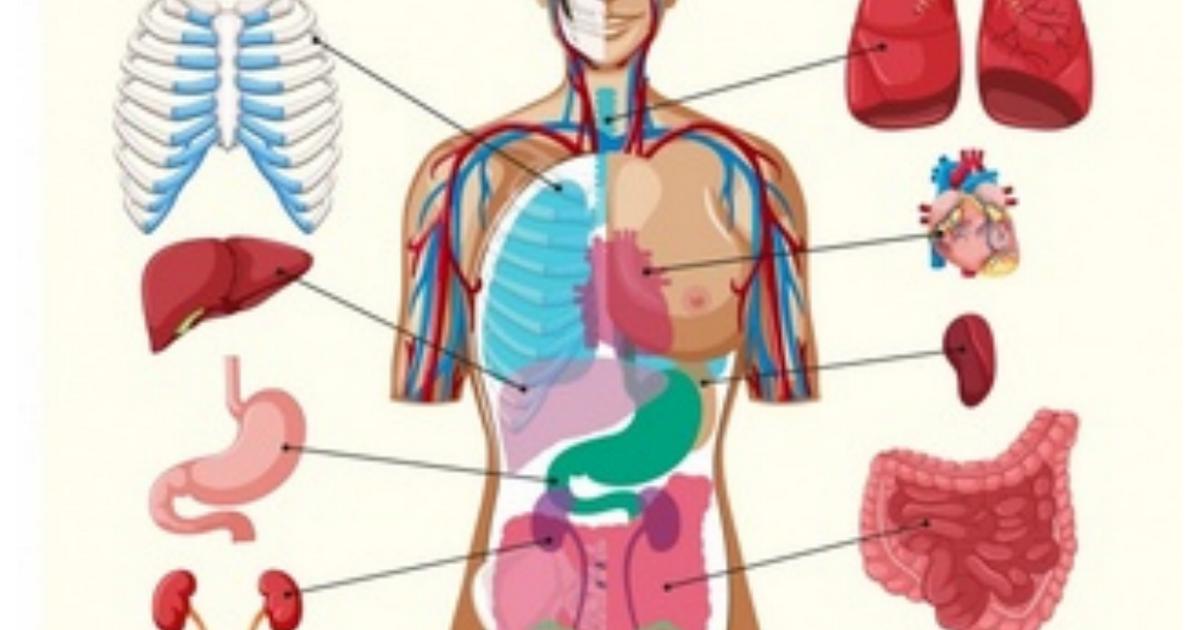 Imprimible Organos Cuerpo Humano Pdf Organos Del Cuerpo Humano Cuerpo Humano Cuerpo